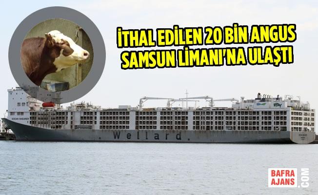 İthal Edilen 20 Bin Angus Samsun Limanı'na Ulaştı