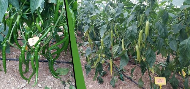 Kış Şartlarına Dayanıklı Biber Tohumu Üretiliyor