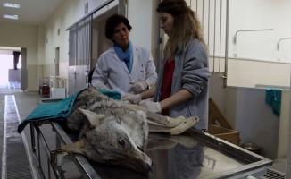 Yaralı Tilki Tedavi Altına Alındı