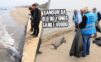 Samsun'da Ölü İki Yunus Sahile Vurdu