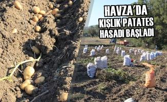 Havza'da Kışlık Patates Hasadı Başladı