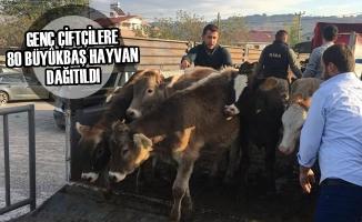 Genç Çiftçilere 80 Büyükbaş Hayvan Dağıtıldı