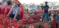 Bafra'da Kapya Biber Sezonu Açıldı