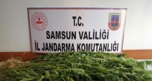 Samsun'da 4.089 Kök Kenevir ve 147 Kilo 330 Gram Esrar Yakalandı
