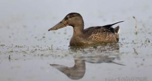 Kızılırmak Deltası Kuş Cenneti'nde Sesleri Yankılanıyor