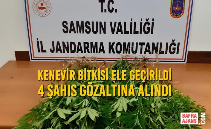 Samsun'da Kenevir Bitkisi Ele Geçirildi, 4 Şahıs Gözaltına Alındı
