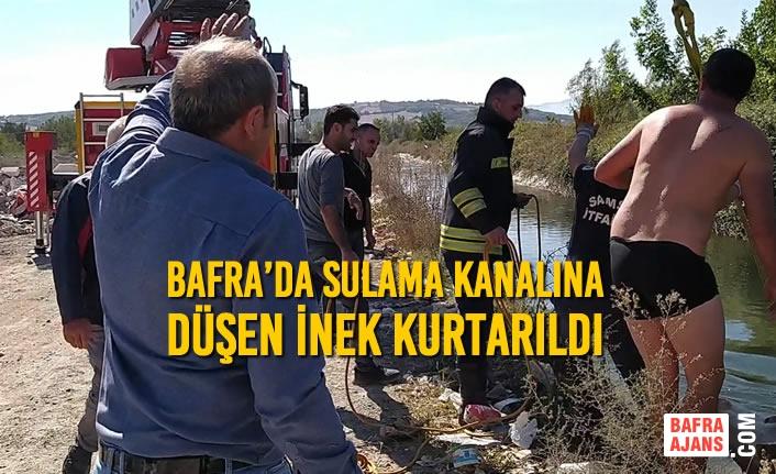 Bafra'da Sulama Kanalına Düşen İnek Kurtarıldı