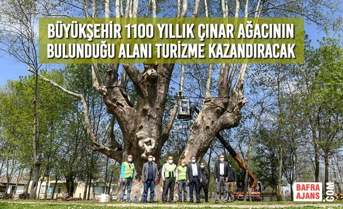 Büyükşehir 1100 Yıllık Çınar Ağacının Bulunduğu Alanı Turizme Kazandıracak