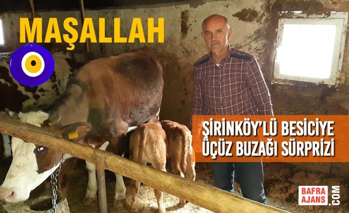 Şirinköy'lü Besiciye Üçüz Buzağı Sürprizi