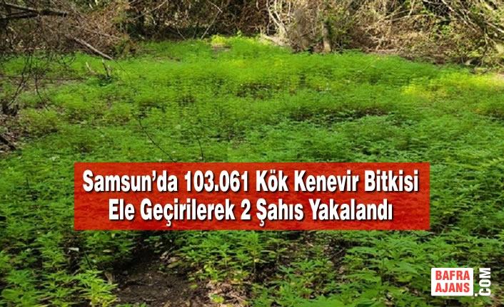 Samsun'da 103.061 Kök Kenevir Bitkisi Ele Geçirilerek 2 Şahıs Yakalandı