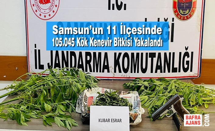 Samsun'un 11 İlçesinde 105.045 Kök Kenevir Bitkisi Yakalandı