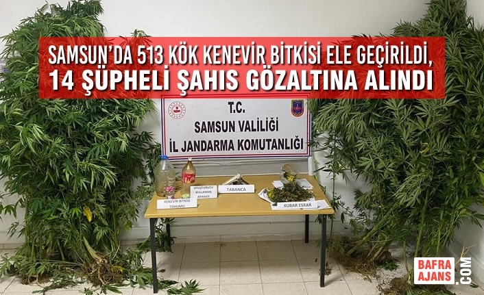 Samsun'da 513 Kök Kenevir Bitkisi Ele Geçirildi, 14 Şüpheli Şahıs Gözaltına Alındı