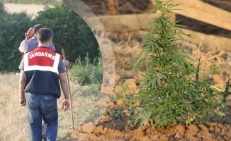 Bafra'da Esrar Operasyonu; 3 Kişi Gözaltına Alındı