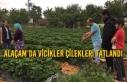 Alaçam'da Vicikler Çilekleri Tatlandı