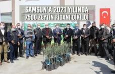 Samsun'a 2021 Yılında 7500 Zeytin Fidanı Dikildi