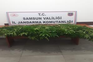 Samsun'da Kenevir ve Esrar Maddesi Ele Geçirildi; 12 Şahıs Gözaltına Alındı