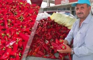 Bafra'da Kırmızı Biber Hasat Zamanı