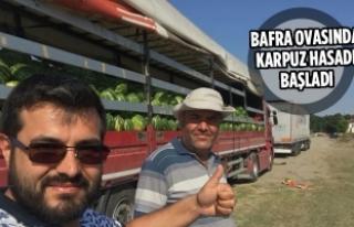 Bafra'da Karpuz Hasadı Başladı