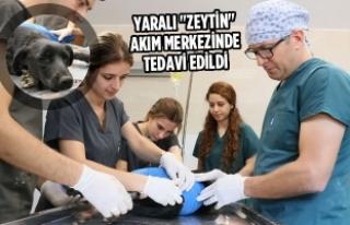 """Yaralı """"Zeytin"""" Bakım Merkezinde Tedavi..."""