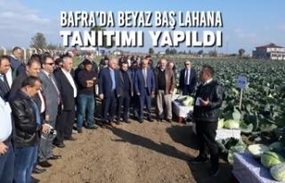 Bafra'da Beyaz Baş Lahana Tanıtımı Yapıldı