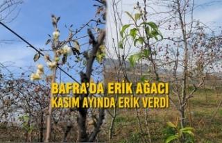 Bafra'da Erik Ağacı Kasım Ayında Erik Verdi