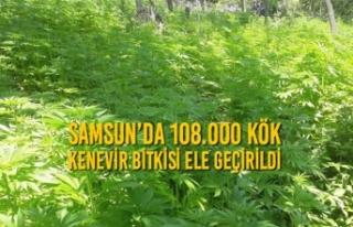 Samsun'da 108.000 Kök Kenevir Bitkisi Ele Geçirildi