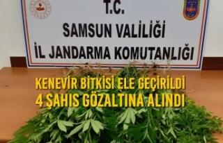 Samsun'da Kenevir Bitkisi Ele Geçirildi, 4 Şahıs...