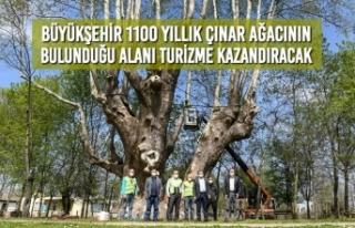 Büyükşehir 1100 Yıllık Çınar Ağacının Bulunduğu...