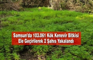 Samsun'da 103.061 Kök Kenevir Bitkisi Ele Geçirilerek...