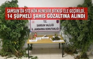 Samsun'da 513 Kök Kenevir Bitkisi Ele Geçirildi,...
