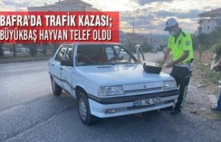 Bafra'da Trafik Kazası; 1 Büyükbaş Hayvan Telef...