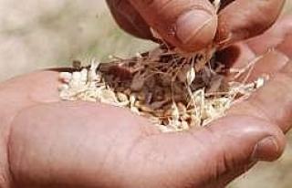 Borsa'da Makarnalık Buğday İhalesi