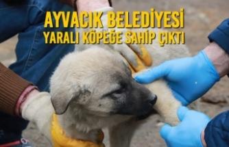 Ayvacık Belediyesi Yaralı Köpeğe Sahip Çıktı