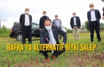 Bafra'ya Alternatif Bitki Salep