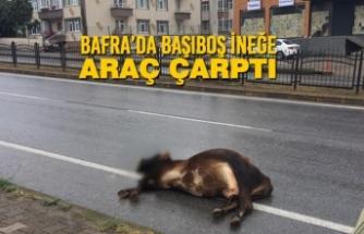 Bafra'da Başıboş İneğe Araç Çarptı