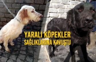 Yaralı Köpekler Sağlıklarına Kavuştu