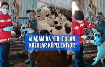 Alaçam'da Yeni Doğan Kuzular Küpeleniyor