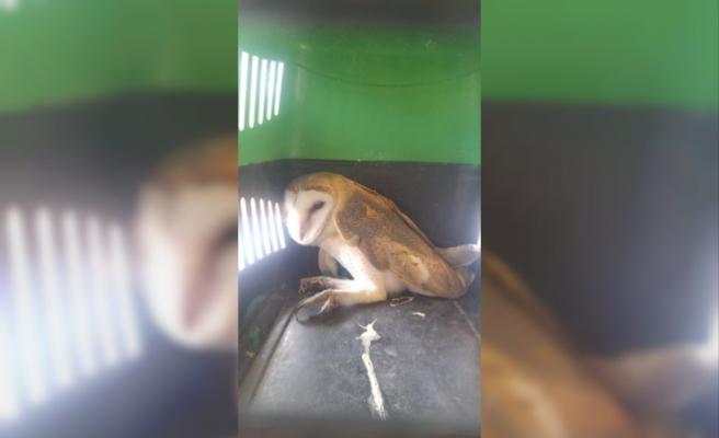Düzce'de yaralı baykuş tedaviye alındı