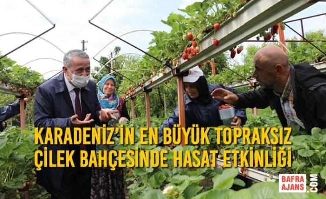 Karadeniz'in En Büyük Topraksız Çilek Bahçesinde Hasat Etkinliği