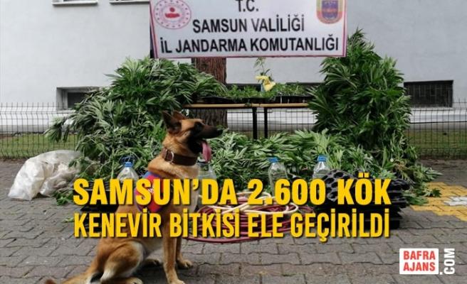 Samsun'da Kenevir Bitkisi Ele Geçirildi, 1 Şahıs Gözaltına Alındı