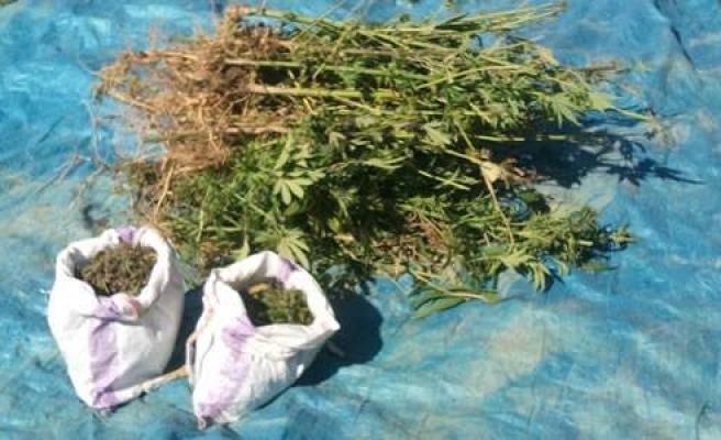 Bafra'da 185 Kök Hint Keneviri ve 2.5 Kilo Esrar Ele Geçirildi