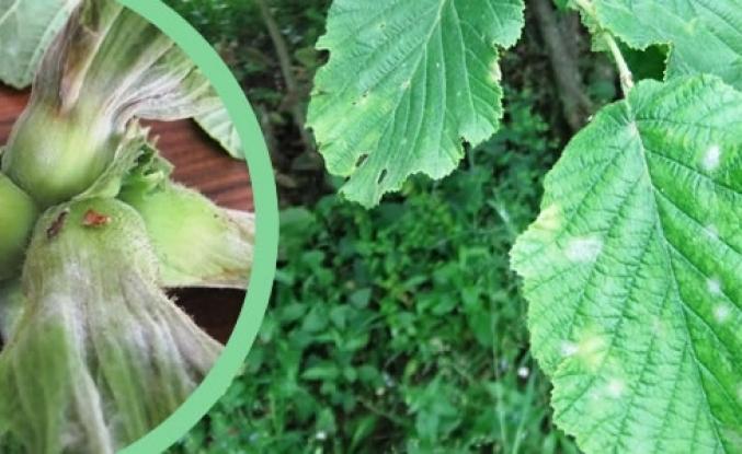 Fındık Bahçelerinde Külleme Hastalığına Dikkat